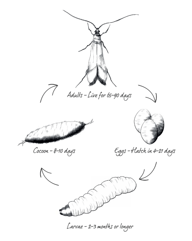life cycle of moths stop prevent moth damage clothes